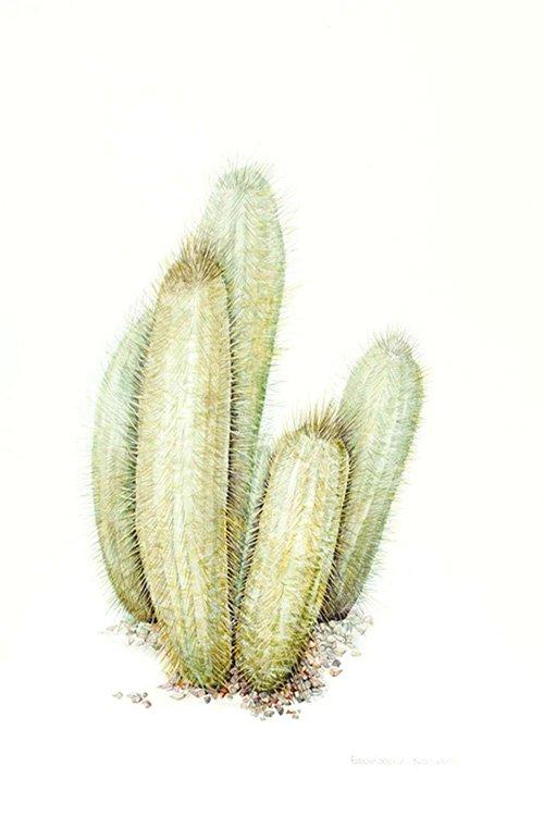 Espostoopsis dybowskii, Shirley Slocock, 2012