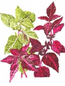 Iresine herbstii species and varieties 'Brilliantissima' and 'Aureo-reticulata', Beth Phillip, 2014