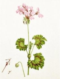 Pelargonium zonale, Judith Golder, 2014