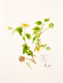 Abutilon indicum, Kay Bird, 2015