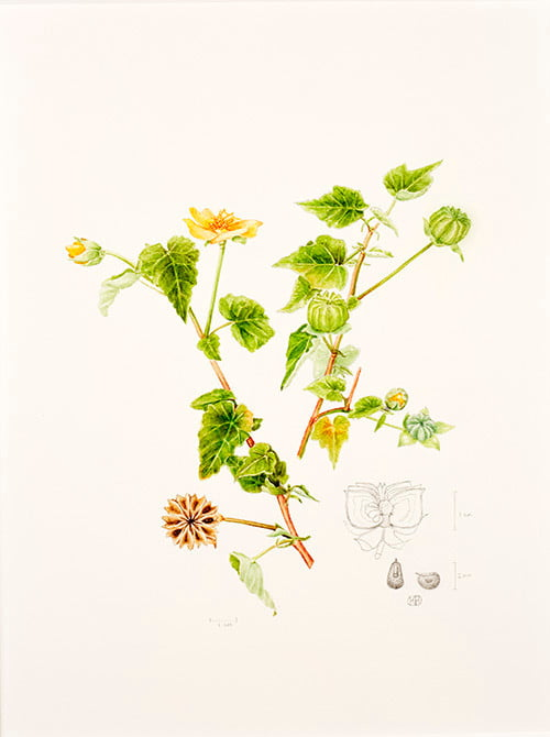 Abutilon indicum, Kay Bird, 2015