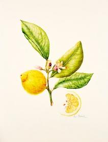 Citrus limon, Pearl Bostock, 2015