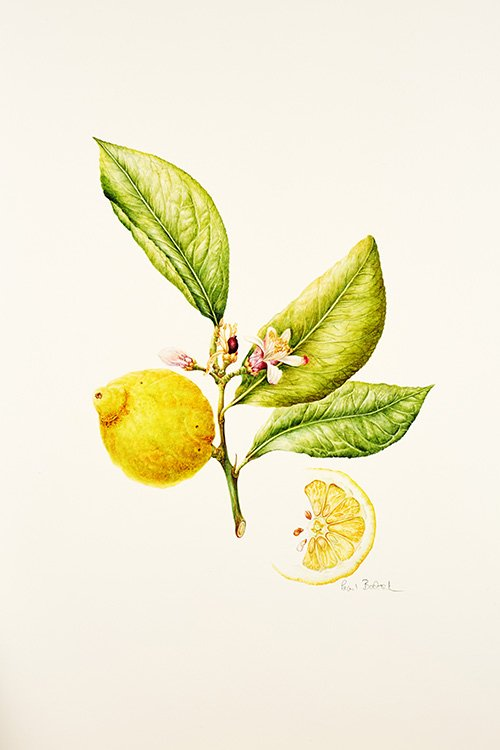 184 Citrus limon, Pearl Bostock 2015