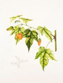 Abutilon pictum 'Thompsonii', Vicky Wilkinson, 2015