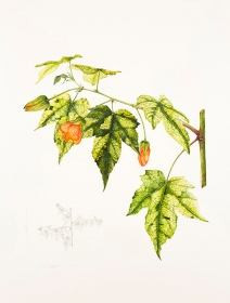 Abutilon pictum 'Thompsonii', Vicky Wilkinson, 2015