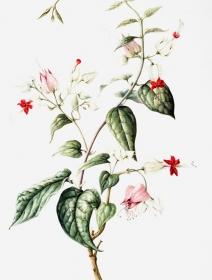 Clerodendrum thomsoniae, Jackie Copeman, 2005