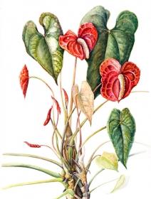 Anthurium, Susan Conroy, 2005
