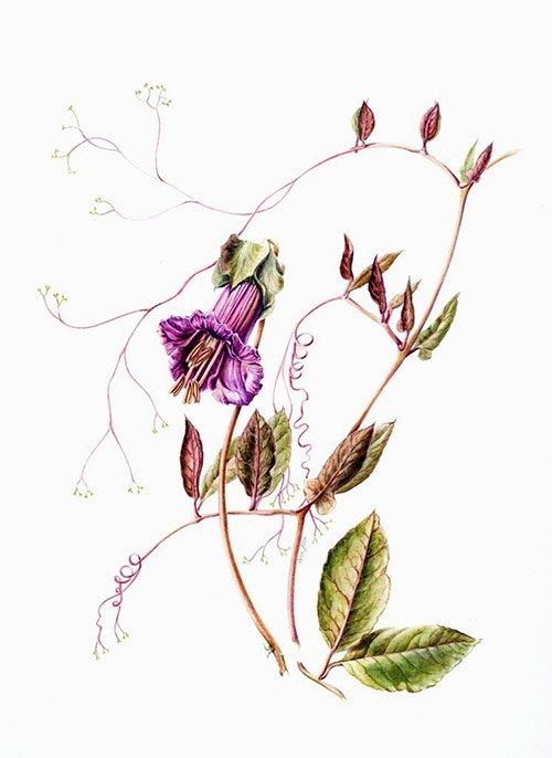Cobaea scandens, Helen Allen, 2006