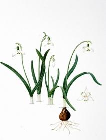 Galanthus nivalis, Maggie Hatherley-Champ, 2007