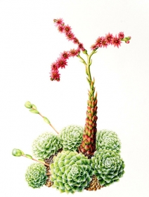 Sempervivum arachnoideum, Leigh Ann Gale, 2007