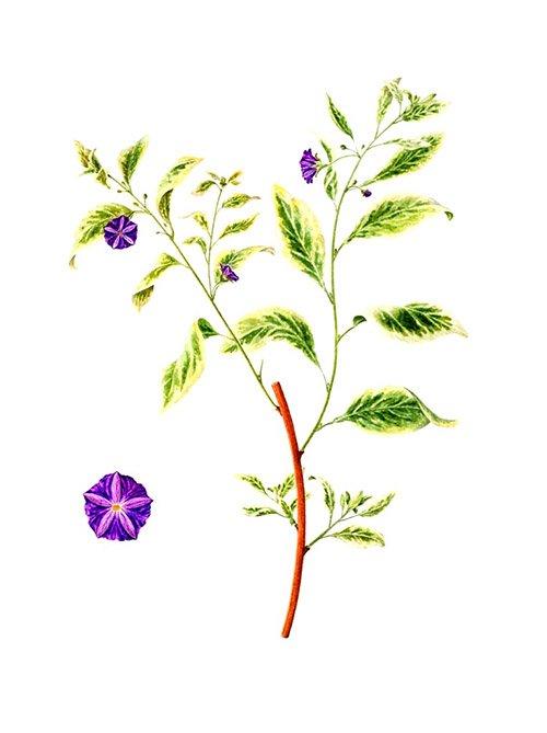 Solanum rantonnetii ssp. variegata, Maggie Hatherley-Champ, 2005