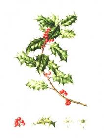 Ilex aquifolium, Annie Patterson, 2007