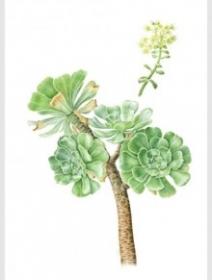Aeonium arboreum, Sara Bedford, 2008