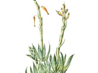Aloe humilis, Maggie Cartmell, 2008