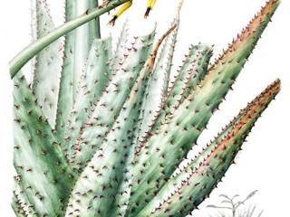 Aloe ferox, Leigh Ann Gale, 2008