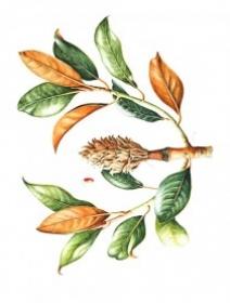 Magnolia grandiflora, Shirley Gumpel, 2008