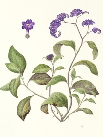 Heliotropium arborescens 'Princess Marina', Maggie Hatherley-Champ, 2009