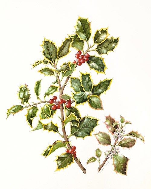 Ilex aquifolium 'Argentea Marginata', Beth Phillip, 2009