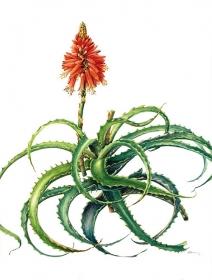 Aloe arborescens, Shirley Gumpel, 2009