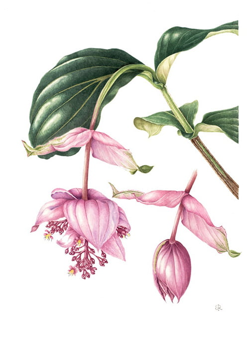 Medinilla magnifica, Shirley Richards, 2009