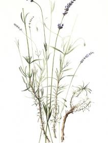Lavandula angustifolia ssp.angustifolia, Lucinda Grant, 2010