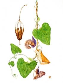 Aristolochia elegans,  Celia Crampton, 2005