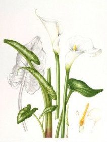 Zantedeschia aethiopica, Shirley Richards, 2010