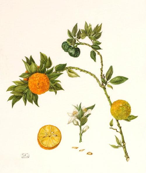 Citrus myrtifolia, Sheila Clarke, 2010