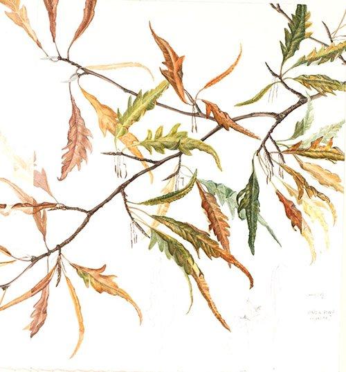 Fagus sylvatica 'Aspleniifolia', Helen Allen, 2010