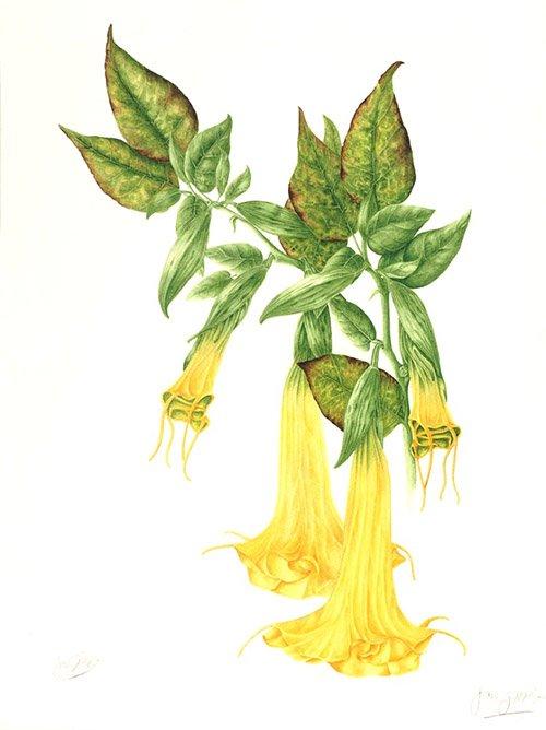 Brugmansia suaveolens, Jan Gibbs, 2010