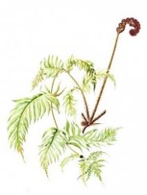 Woodwardia radicans, Maggie Hatherley-Champ 2011