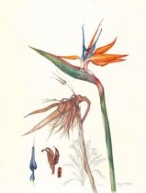 Strelitzia reginae, Jenny Malcolm, 2011