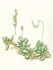 Andromischus cooperi, Carolyn Dimond, 2011