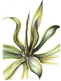 Agave americana variagata,  Susan Conroy, 2008