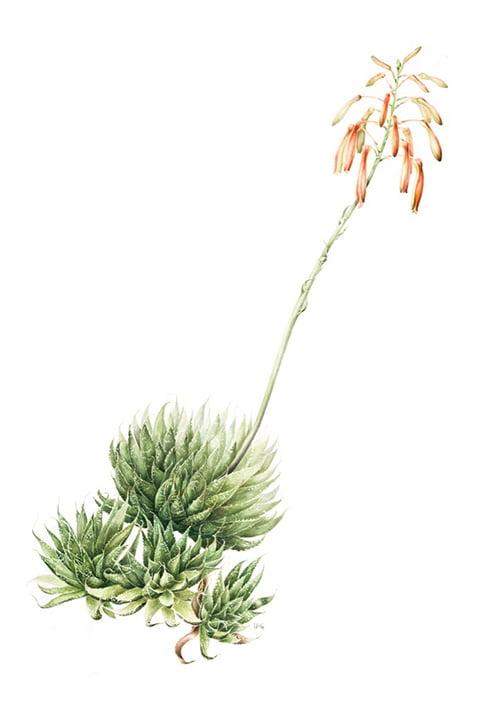 Aloe aristata, Lucinda Grant, 2008
