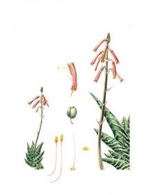 Aloe variegata, Helen Allen, 2009
