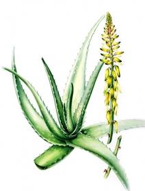 Aloe vera, Annie Patterson, 2006
