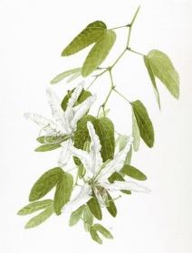 Bauhinia variegata, Kay Bird, 2011
