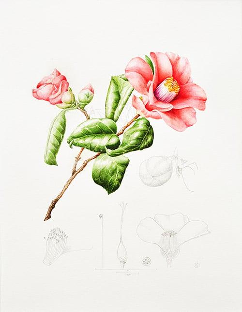 Camellia sinensis, Kay Bird, 2013