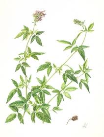 Cedronella canariensis, Angeline de Meester, 2009
