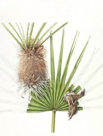 Chamaerops humilis, Shirley Slocock, 2011