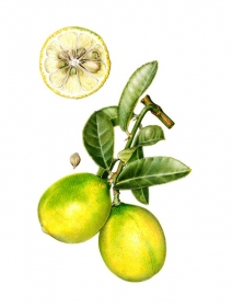 Citrus limequat, Celia Crampton, 2006