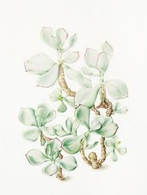 Cotyledon orbiculata, Annie Patterson, 2009