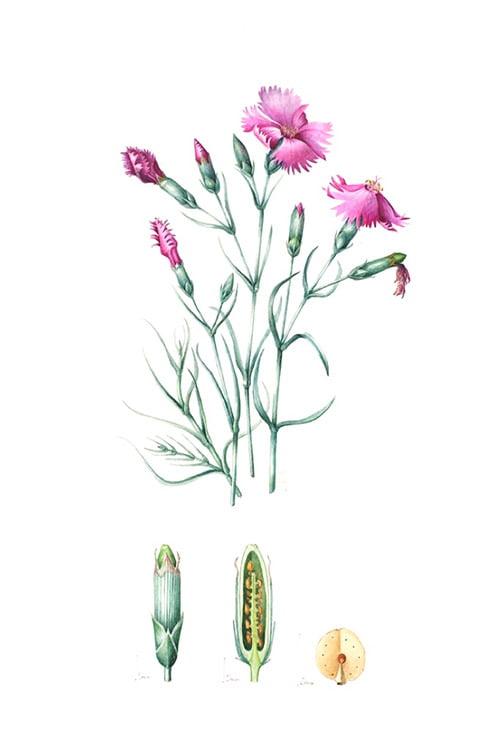 Dianthus caryophyllus, Lesley Ann Sandbach, 2010
