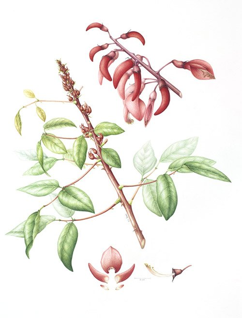 Erythrina christa-galli, Leigh Ann Gale, 2009