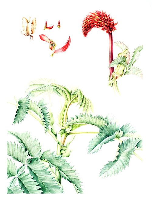 Melianthus major,  Annie Patterson, 2005