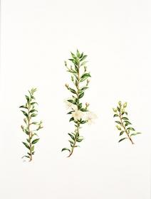 Myrtus communis ssp.tarentina, Judith Golder, 2015