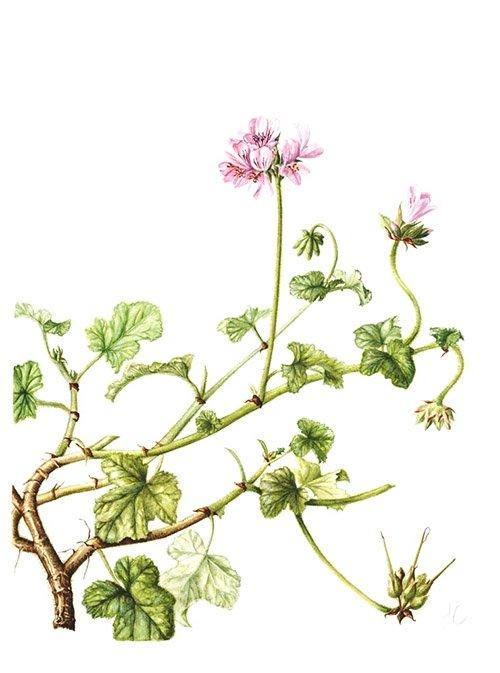 Pelargonium capitatum, Jackie Copeman, 2008