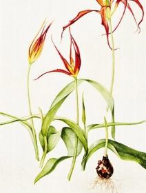 Tulipa acuminata, Jackie Copeman, 2014