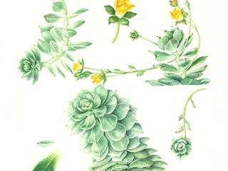 Echeveria derenbergii, Shirley Richards, 2012